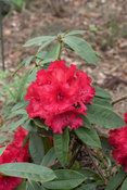 Rhododendron 'Taurus', rhododendron, rouge