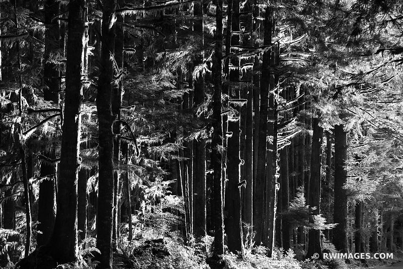 ROAD TO HOH RAINFOREST OLYMPIC NATIONAL PARK PACIFIC NORTHWEST FOREST BLACK AND WHITE