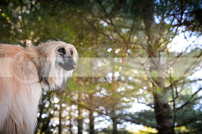 portrait of longhaired afghan hound dog in pine forest
