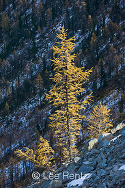 Alpine Larch (aka Subalpine Larch or Lyall's Larch) (Larix lyallii), its deciduous needles golden in autumn, in the high subalpine forest near Hart's Pass, Okanogan National Forest, North Cascade Mountains, Washington State, USA, October, 2008_WA_6461