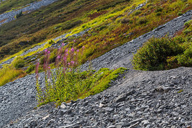 Steep Mountainside with Fireweed and other Meadow Plants