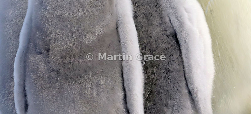 Fur Coats - Commended in the Attention to Detail category of Bird Photographer of the Year 2019