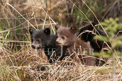 Three Black Bear Cubs In Grass