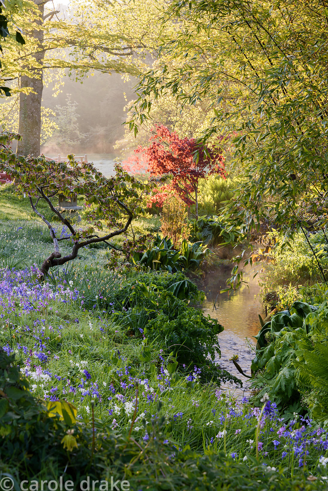 Bluebells, cherries, acers and bamboo in the watery Japanese garden at Heale House, Middle Woodford, Wiltshire