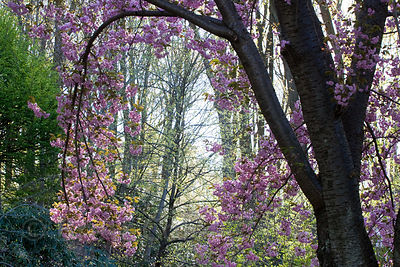 Flowering trees (sp.) in an arboretum in Westchester, Pennsylvania