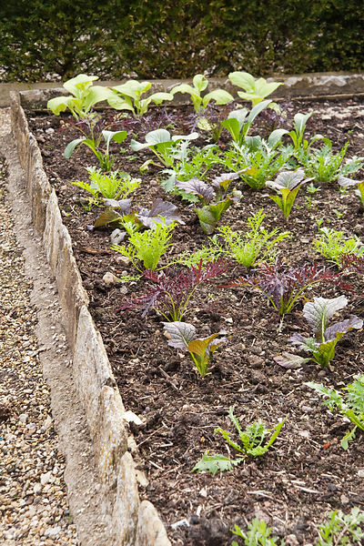 Lines of lettuce and salad leaves in the walled garden. The Manor House, Beaminster, Dorset, UK