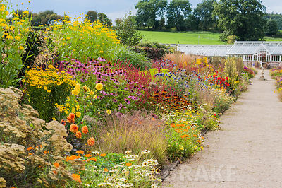 Section of the hot borders planted with Achillea 'Terracotta', annual marigolds, Chrysanthemum segetum 'Eastern Star', echinaceas, dahlias and tall Rudbeckia laciniata 'Juligold'. Helmsley Walled Garden, Helmsley, York, North Yorkshire, UK