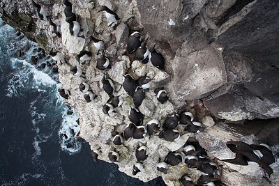 View down towards Common guillemot (Uria aalge) breeding colony on cliff, Latrabjarg Cliff, West Fjords, Iceland, July.