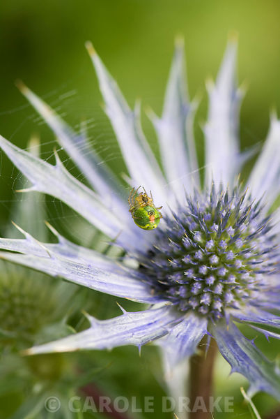 Spider within web on spikey flower of Eryngium x zabelii. Snape Cottage, Chaffeymoor, Bourton, Dorset, UK