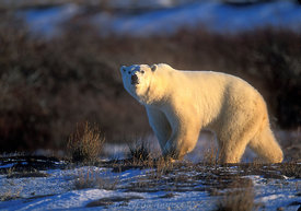 378 Great White Bear of the North