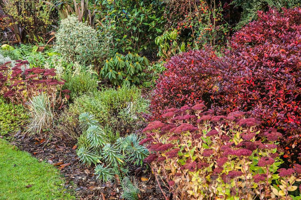 Silver and red border near the house includes berberis, sedums and euphorbias. The Dingle Garden, Welshpool, Powys, Wales