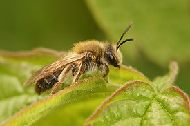 Andrena mitis , female