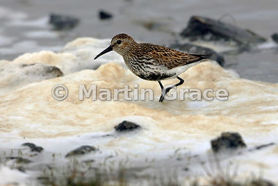 Dunlin (Calidris alpina) foraging among the spume at the shoreline, Fetlar, Shetland