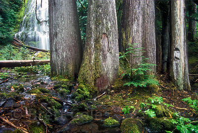 Cluster of old western red cedar (Thuja plicata) trees near Proxy Falls, Three Sisters Wilderness, Oregon Cascades