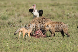 black_backed_jackal_tanzania_04022017-2