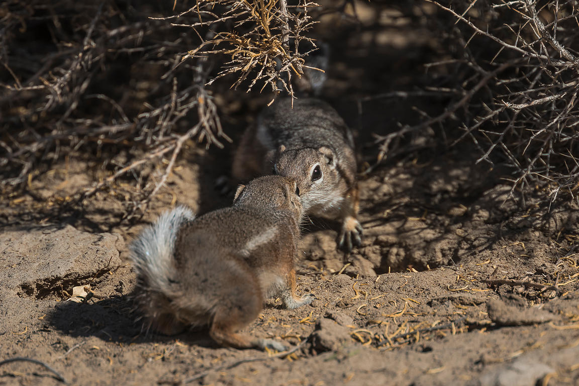 White-tailed Antelope Squirrels at Grimes Point Archaeological Area