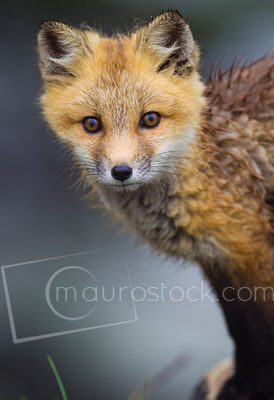Early Summer Red Fox Pup