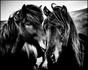 Cheek by cheek, Wild horse of Iceland 2015 © Laurent Baheux