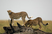 Tanzania, Serengeti National Park,Cheetah (Acinonyx jubatus)