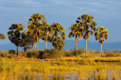 Borassus palms (Palmyra palm) along the Shire river, Liwonde National Park, Malawi