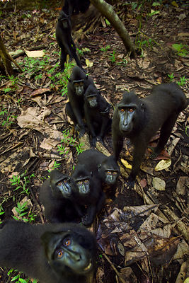 Celebes / Black crested macaque (Macaca nigra)  group watching with curiosity, Tangkoko National Park, Sulawesi, Indonesia.