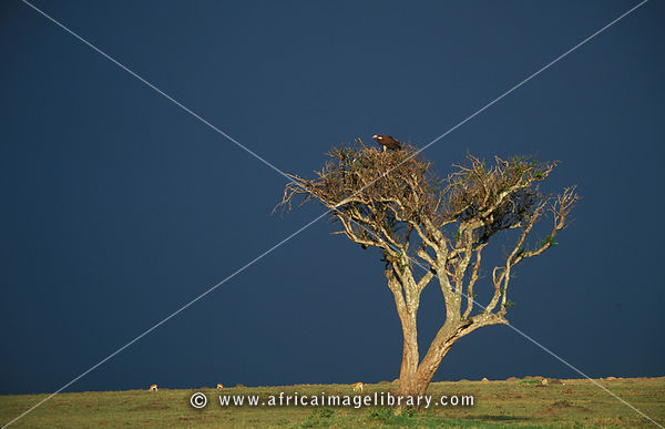 Lappet-faced vulture, Torgos tracheliotus, in an acacia tree on the plains, Maasai Mara National Reserve, Kenya