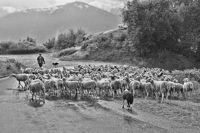 transhumance of ewes in the Pyrenees