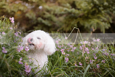 little white fluffy dog licking lips in deep flowers