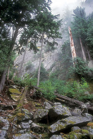 Foggy old-growth forest on the Squamish Chief, Squamish, British Columbia. The Chief is the second largest granite monolith i...