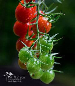 Cherry Tomatoes After the Rain