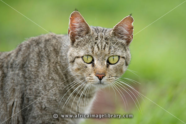 Wild Cat photos