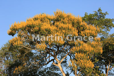 Spectacular yellow blossom of Vochysia divergens tree in golden early morning sunlight, River Cuiabá, Northern Pantanal, Mato...
