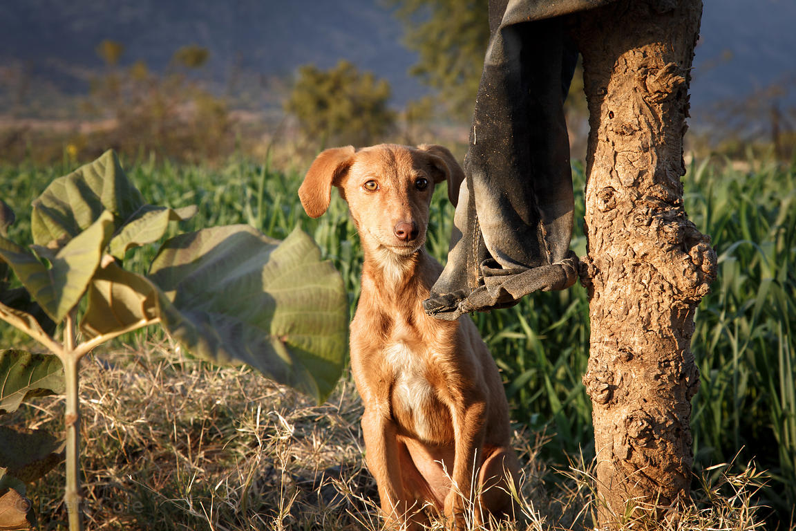 Dog on a wheat farm, Kharekhari village, Rajasthan, India