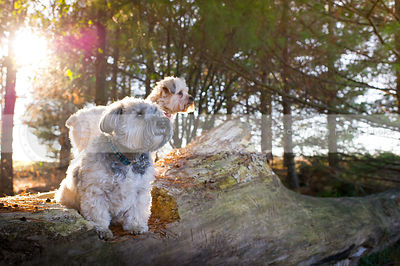 two little dogs perched on log in sunflare pine trees