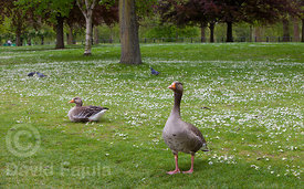Greylag Goose couple (Anser anser) in Hyde Park