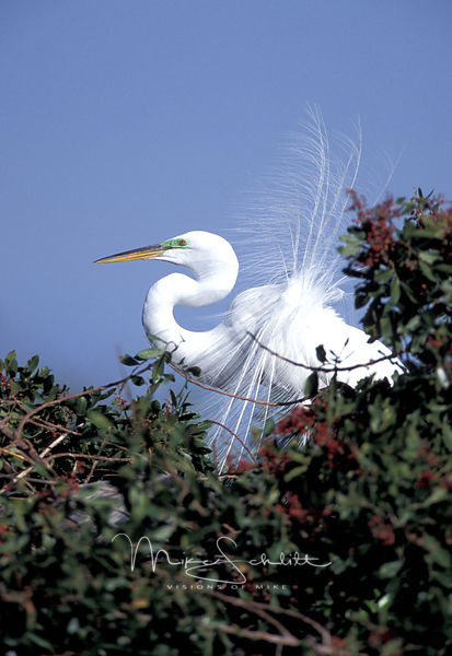 Florida_white_fluffy_feather_bird