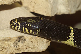 Lampropeltis species - Kingsnake species