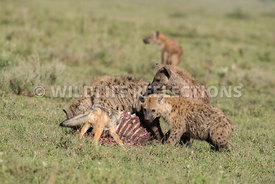 black_backed_jackal_tanzania_04022017-5