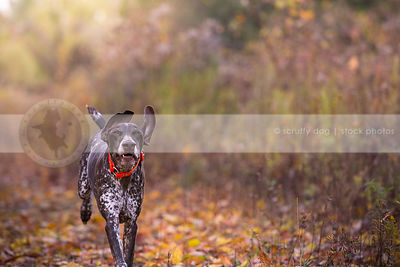 brown roan dog with ears up running with minimal background