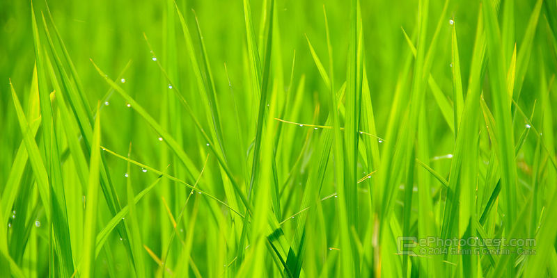 Close Up of Lush Green Rice Stalks