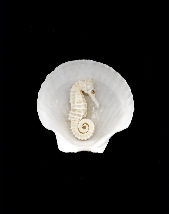white seahorse in scallop shell
