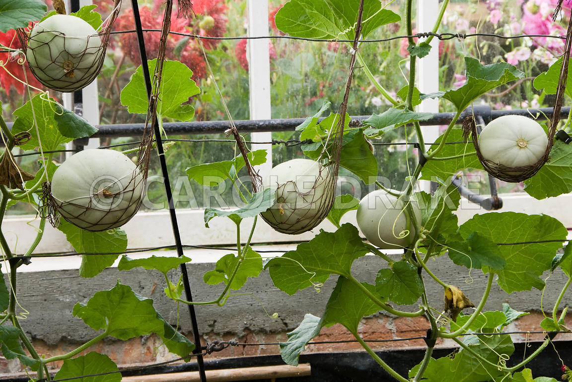 Netted melons, Canteloupe F1 variety 'Sweetheart'. Clovelly Court, Bideford, Devon, UK