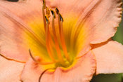 Close up of a peach colored flower