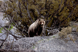Yellowstone_Grizzly_FinWH