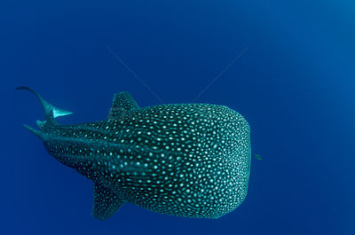 Whale shark (Rhincodon typus) rear view, Cenderawasih Bay, West Papua. Indonesia.