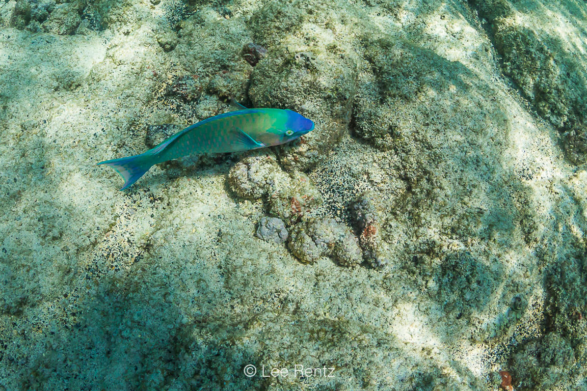Palenose Parrotfish along Coral Reef off Big Island of Hawaii