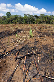 Recently burned sugar cane field, Schroeder's Farm, Skutch Corridor, Costa Rica