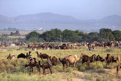 Camels graze on the mela grounds at the Pushkar Camel Fair, Pushkar, Rajasthan, India