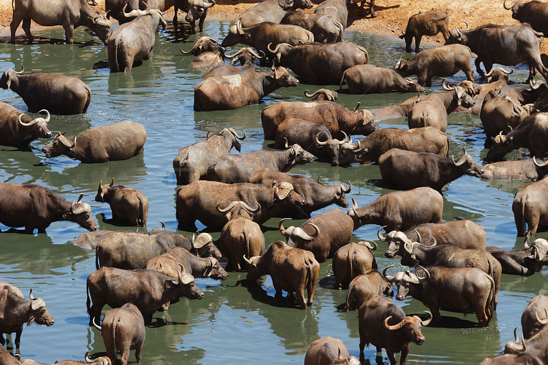 African buffalo (Syncerus caffer) herd drinking in front of Voi lodge, aerial view, Tsavo East National Park, Kenya