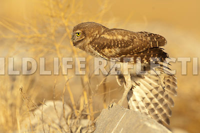 burrowing_owl_wing_stretch_back_2